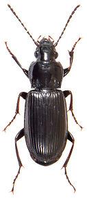 Pterostichus anthracinus 1.jpg