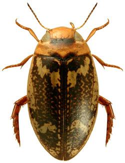 Laccophilus poecilus