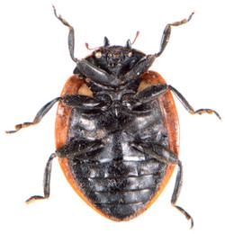 Coccinella septempunctata