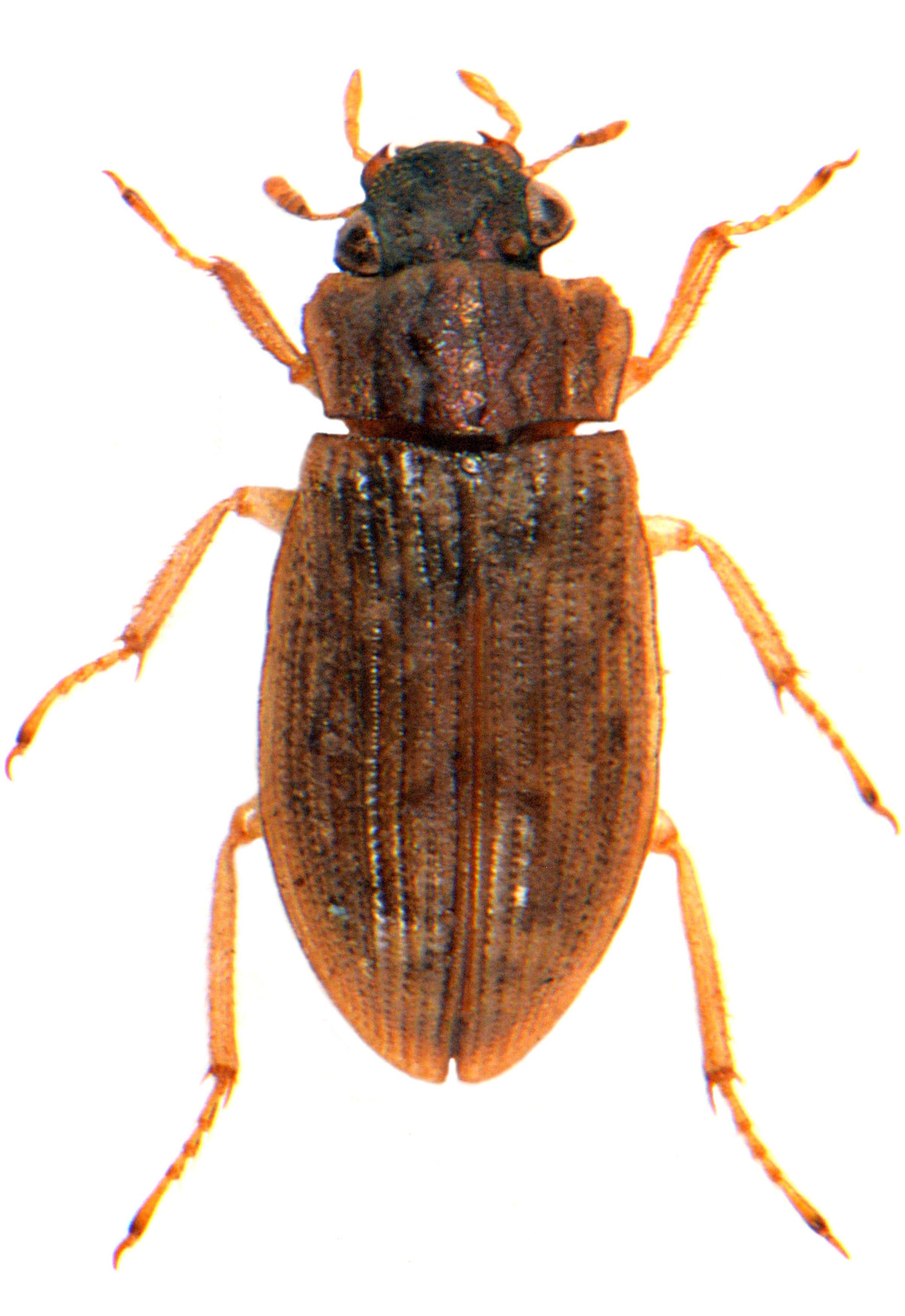 H. (Trichelophorus) alternans