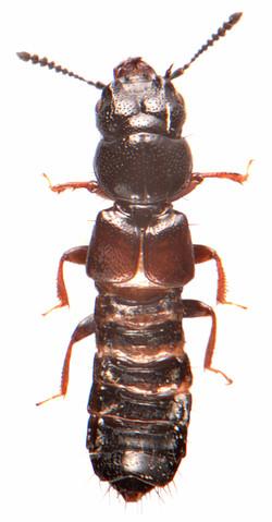 Platystethus arenarius 1
