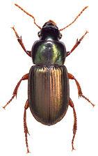 Harpalus affinis 1.jpg