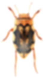 Nebrioporus elegans.jpg