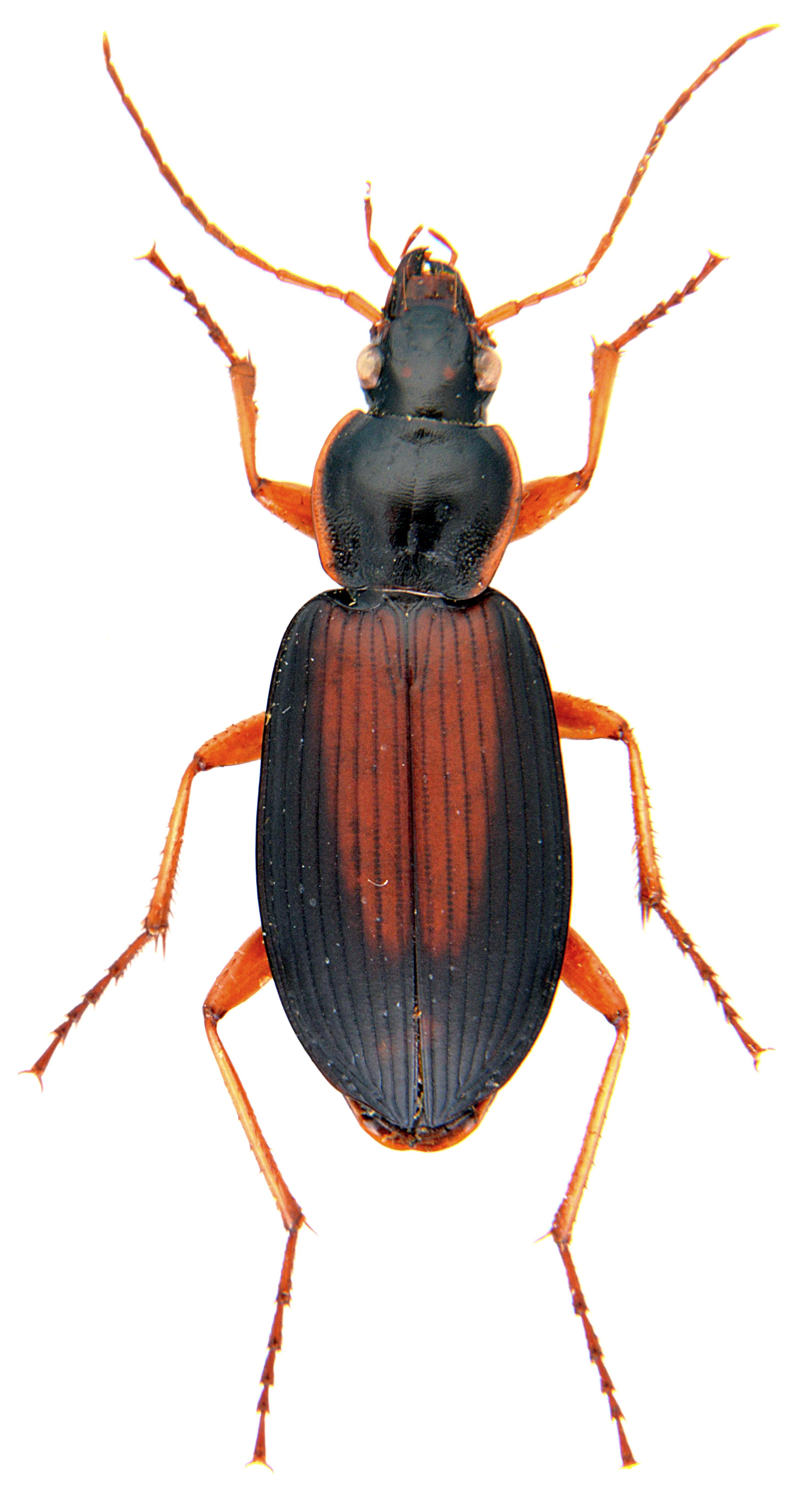 Dolichus halensis