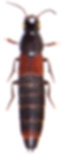 Astrapaeus ulmi 1.jpg