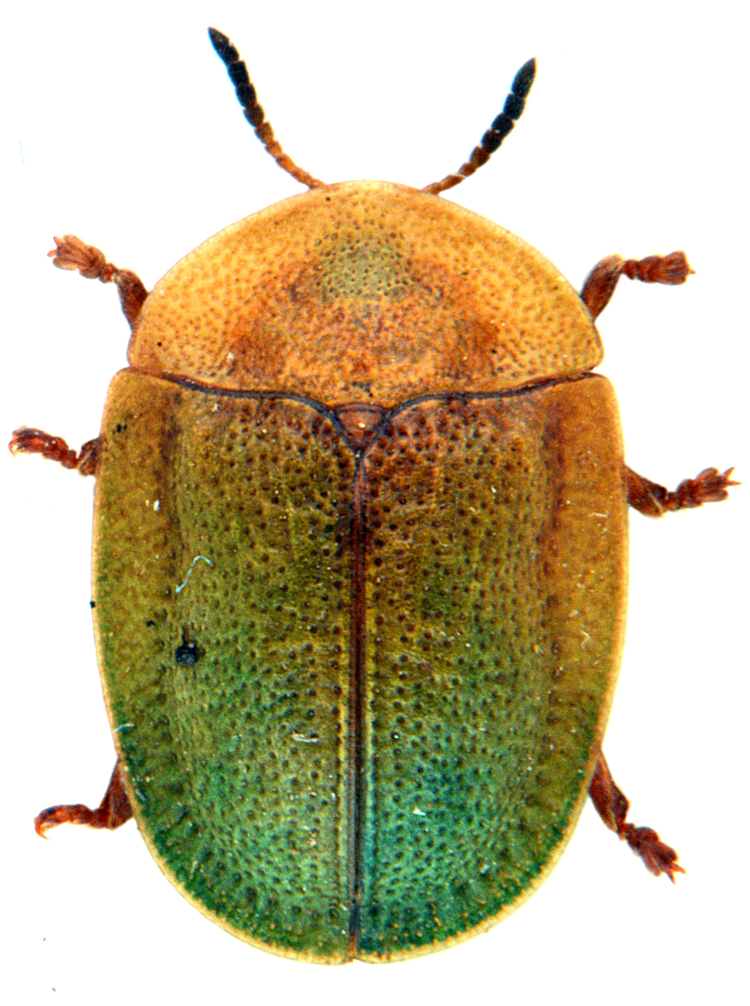 Cassida viridis 2