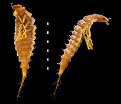 Platambus maculatus larva