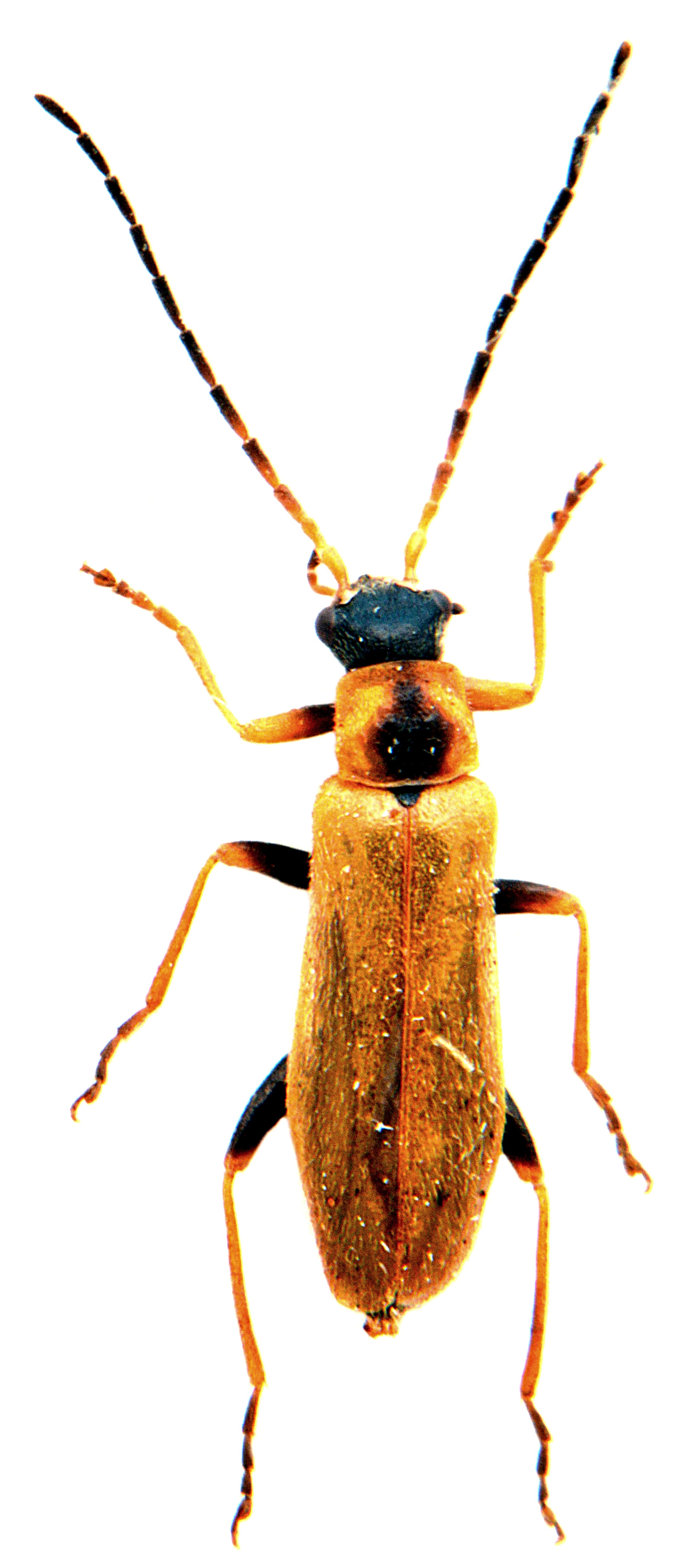 Rhagonycha nigriventris 2