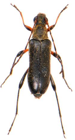 Grammoptera ruficornis 1