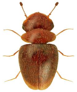 Calyptomerus dubius
