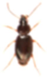 Bembidion obtusum.jpg