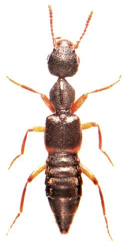 Rugilus orbiculatus 1