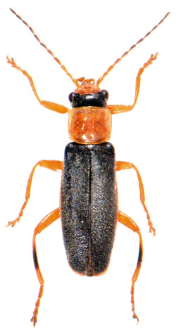 Cantharis lateralis 1