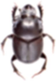 Onthophagus taurus 1.jpg