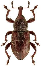 Hylobius transversovittatus.jpg