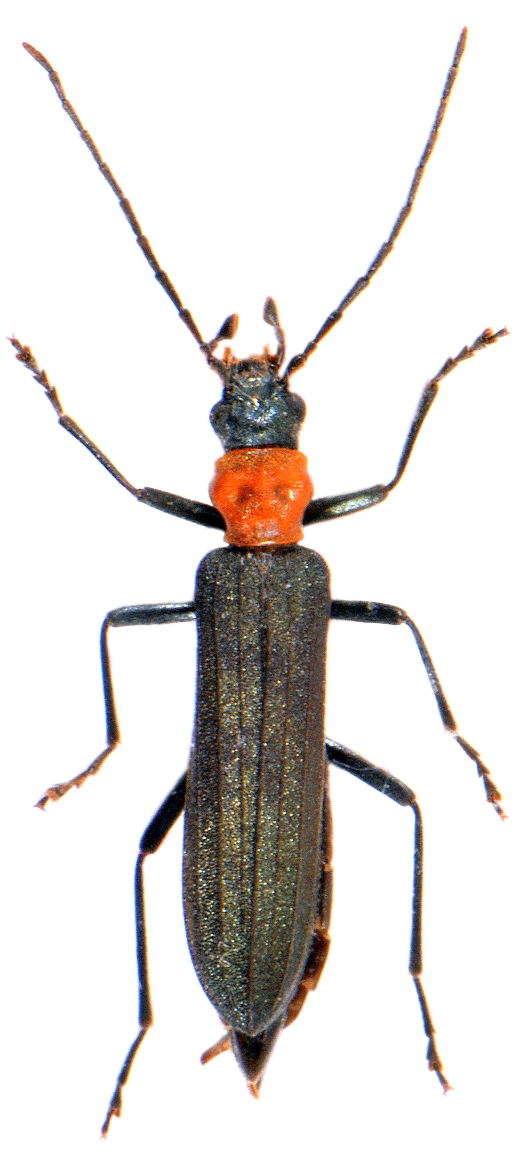 Ischnomera sanguinicollis 1