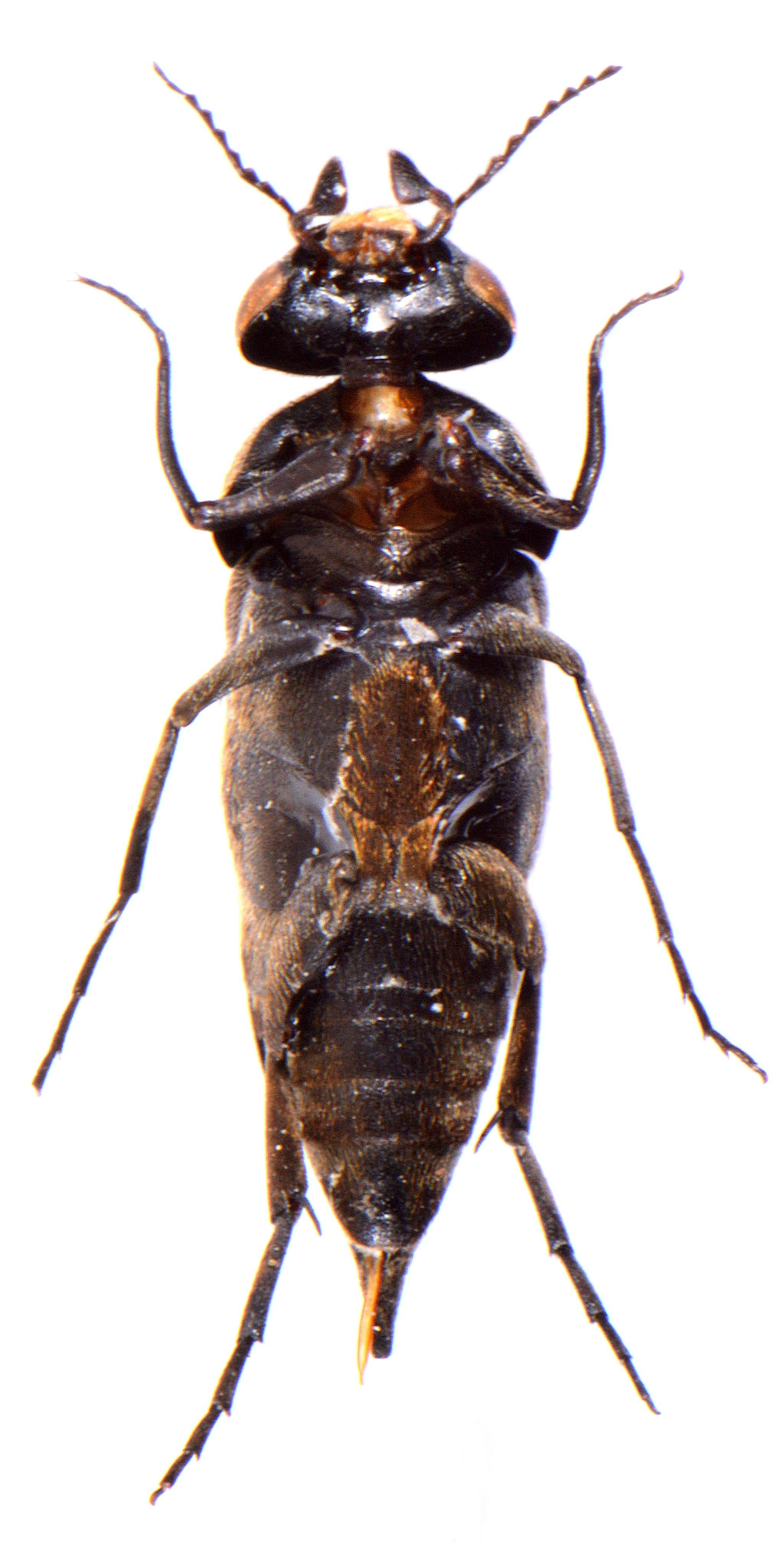 Tomoxia bucephala 4