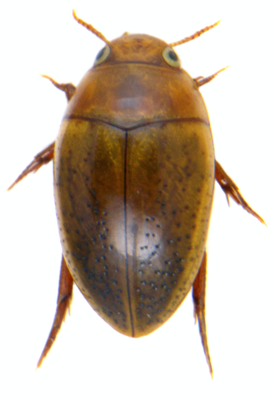 Noterus clavicornis ♀