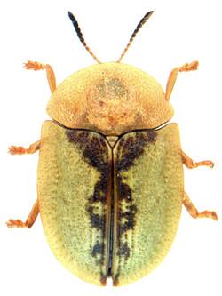 Cassida vibex 1