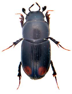 Phalacronothus quadrimaculatus 1