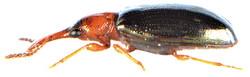 Salpingus ruficollis 5