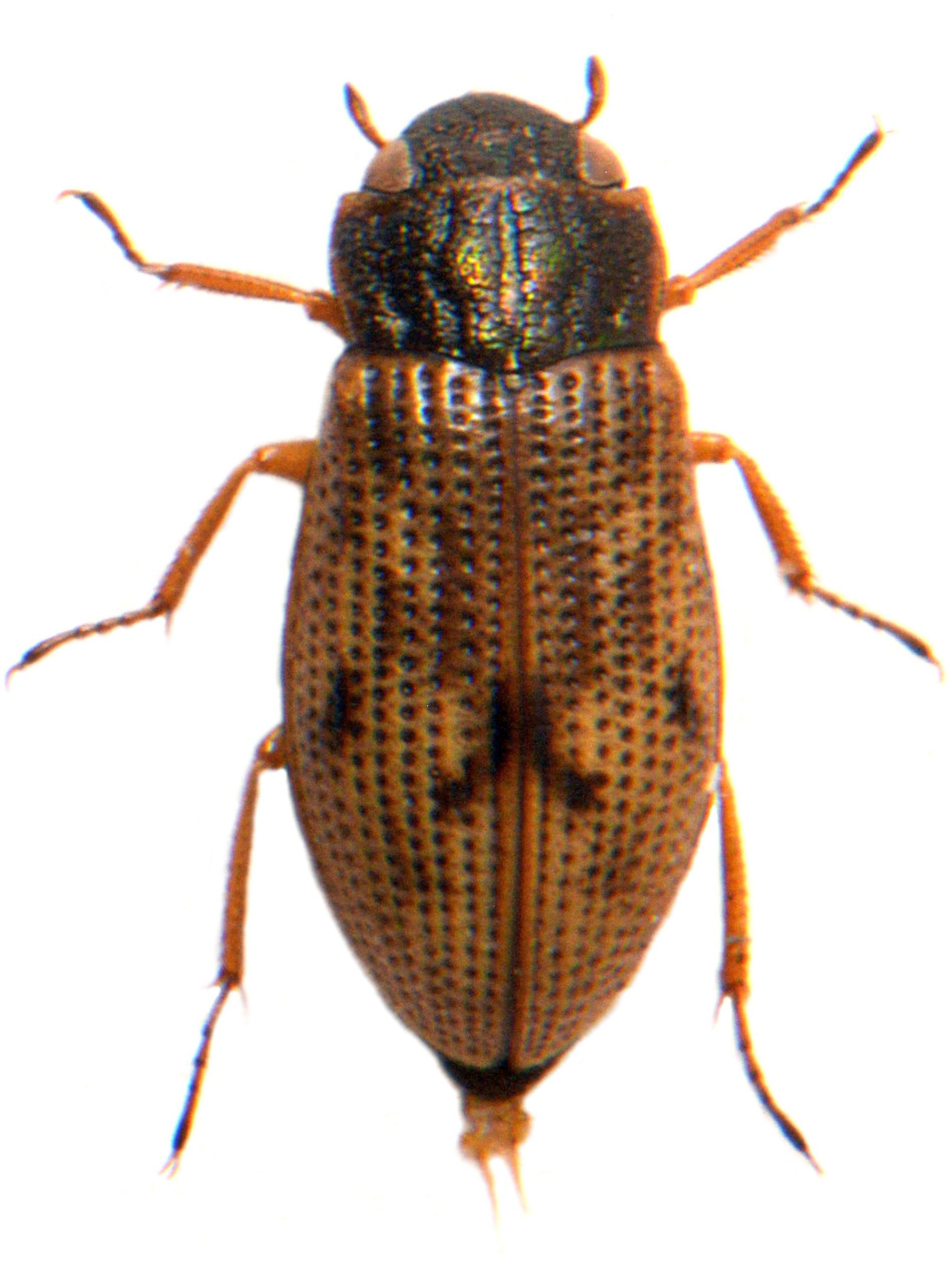 H. (Atracthelophorus) brevipalpis