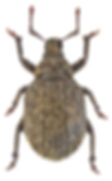 Romualdius angustisetulus.jpg