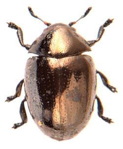 Oomorphus concolor 3