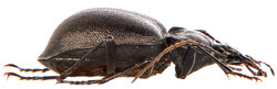 Cychrus caraboides 2