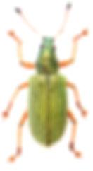 Polydrusus formosus 1.jpg