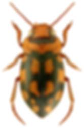 Stictotarsus duodecimpustulatus.jpg