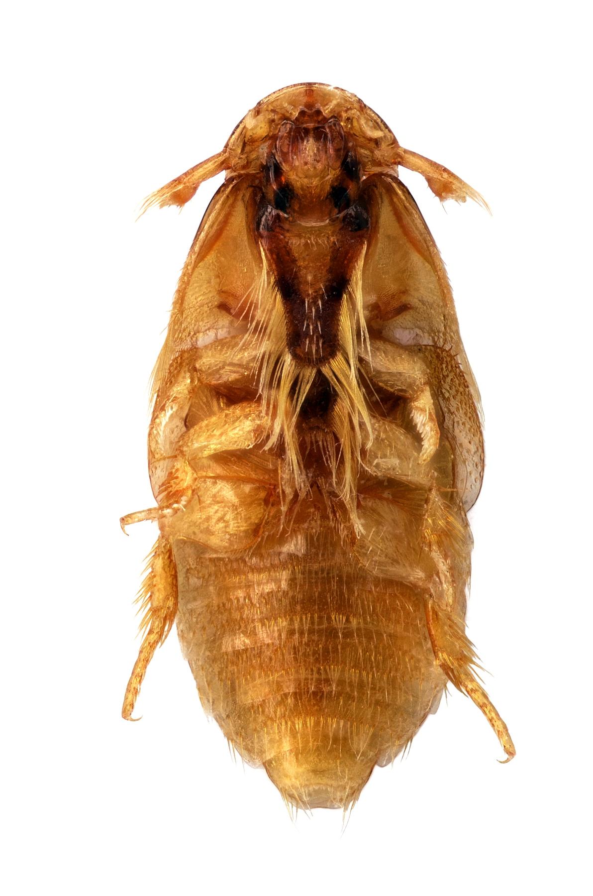 Platypsyllus castoris 4