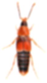 Ischnosoma splendidum 1.jpg