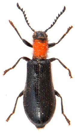 Tillus elongatus - CLERIDAE
