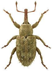 Pseudostyphlus pillumus.jpg