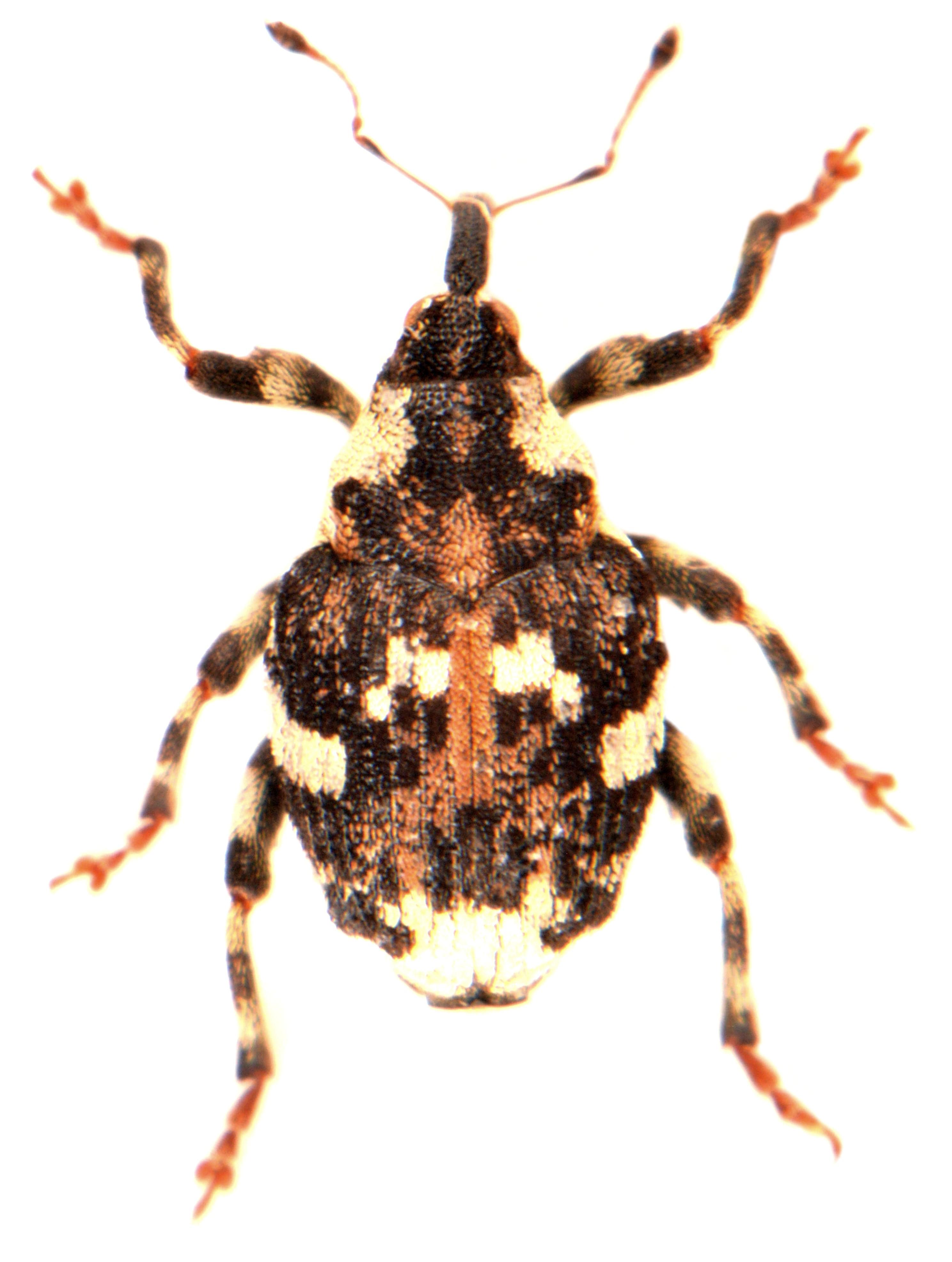 Hadroplontus trimaculatus 2