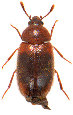 Triphyllus bicolor