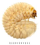 Cetonia aurata larva 2.jpg