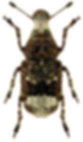 Tropideres albirostris.jpg