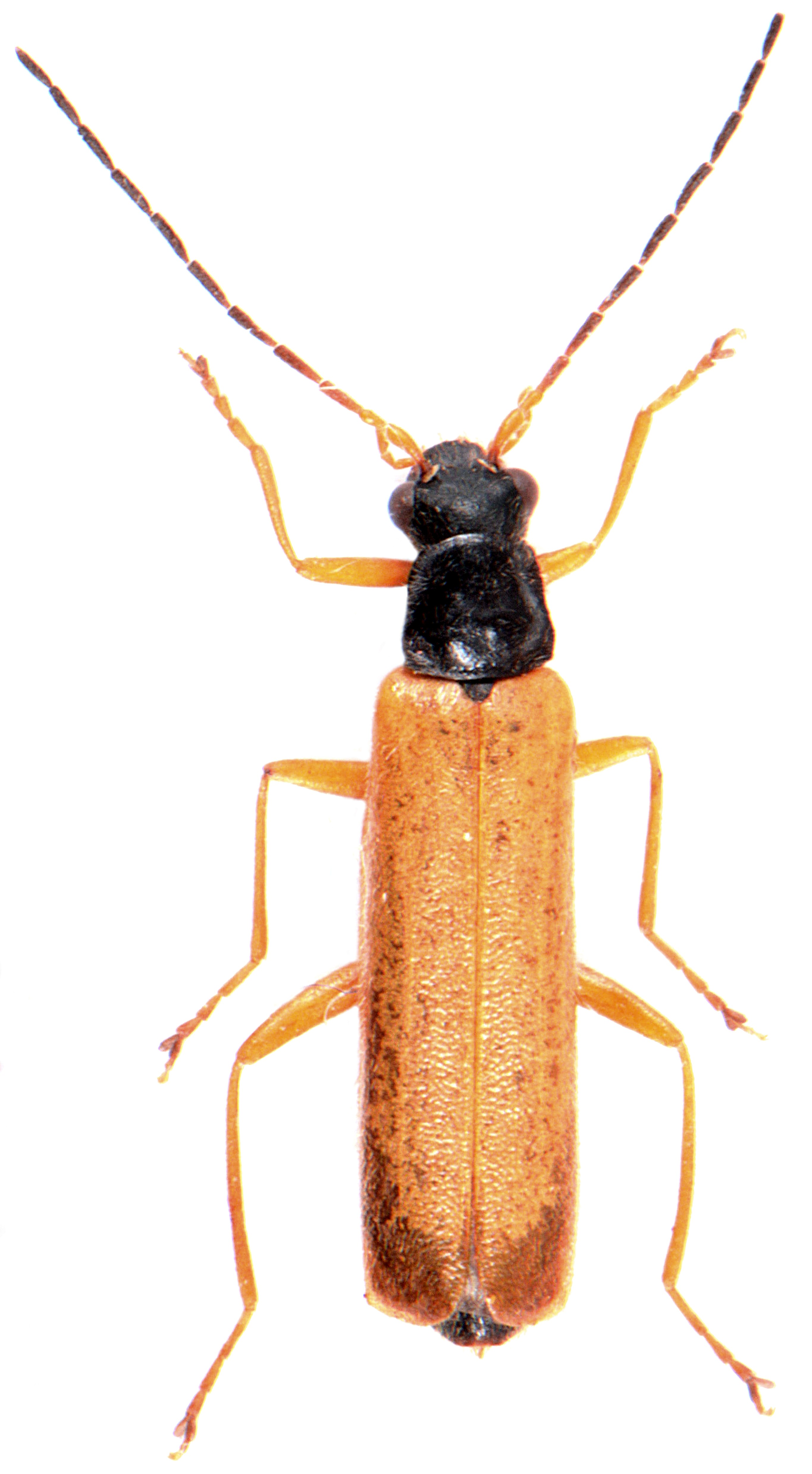 Rhagonycha lignosa