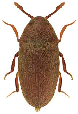 Trixagus obtusus