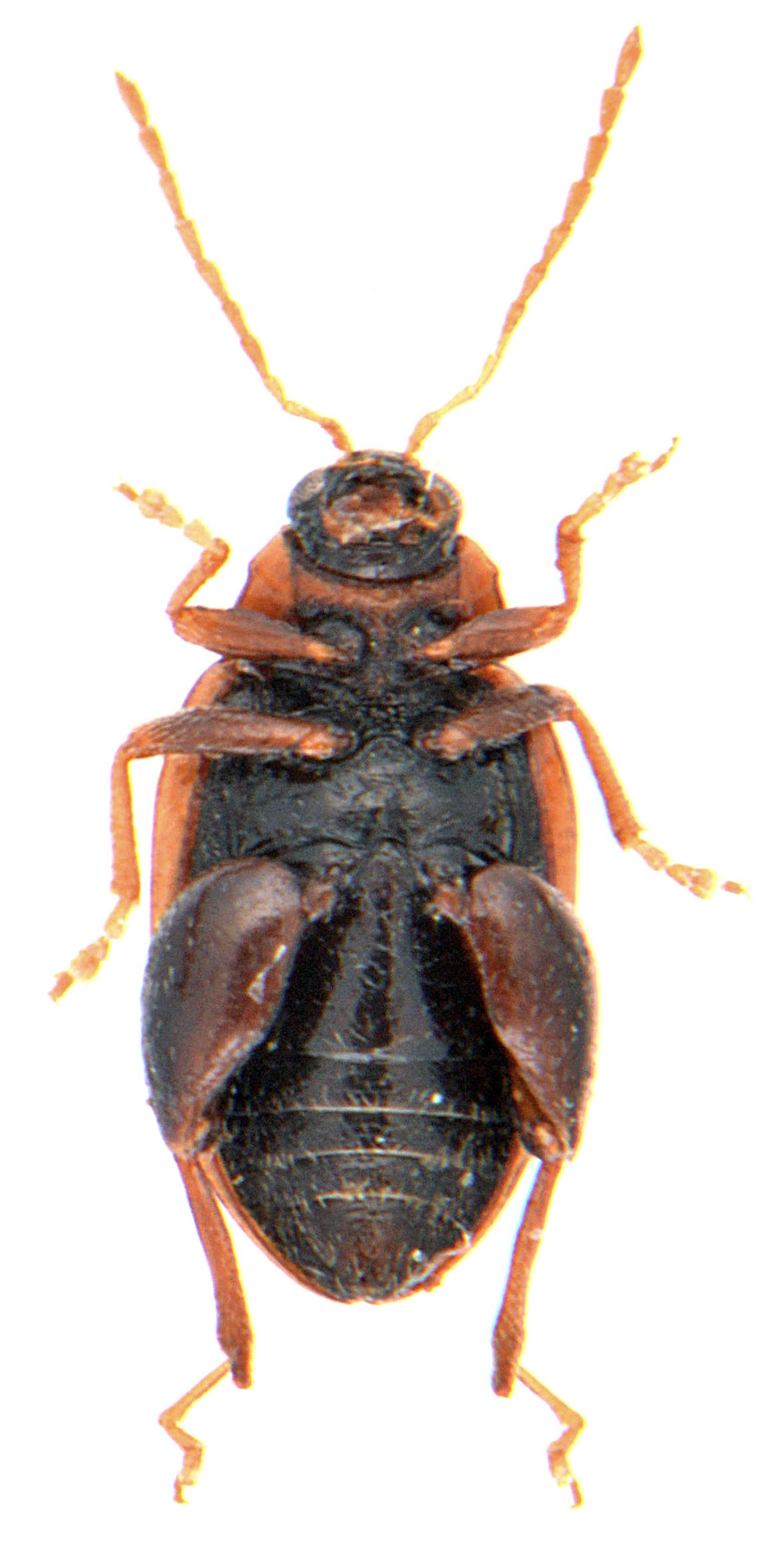 Psylliodes affinis 4