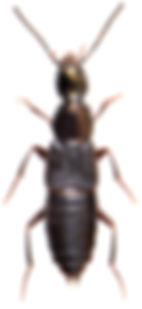 Philonthus decorus 1.jpg