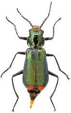 Malachius bipustulatus 1A.jpg