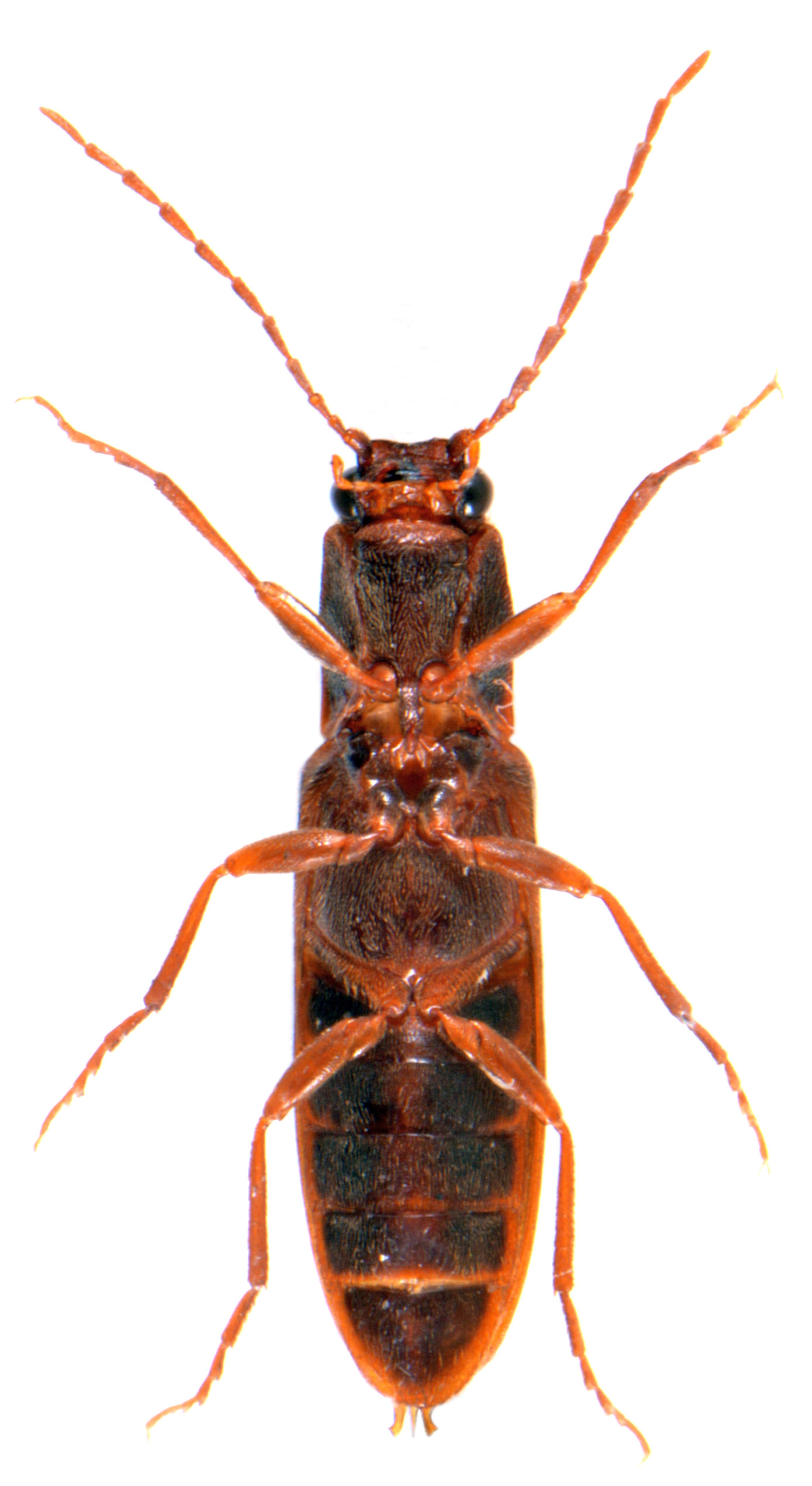 Athous campyloides 3