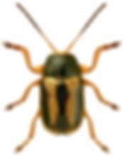 Cryptocephalus bilineatus.jpg