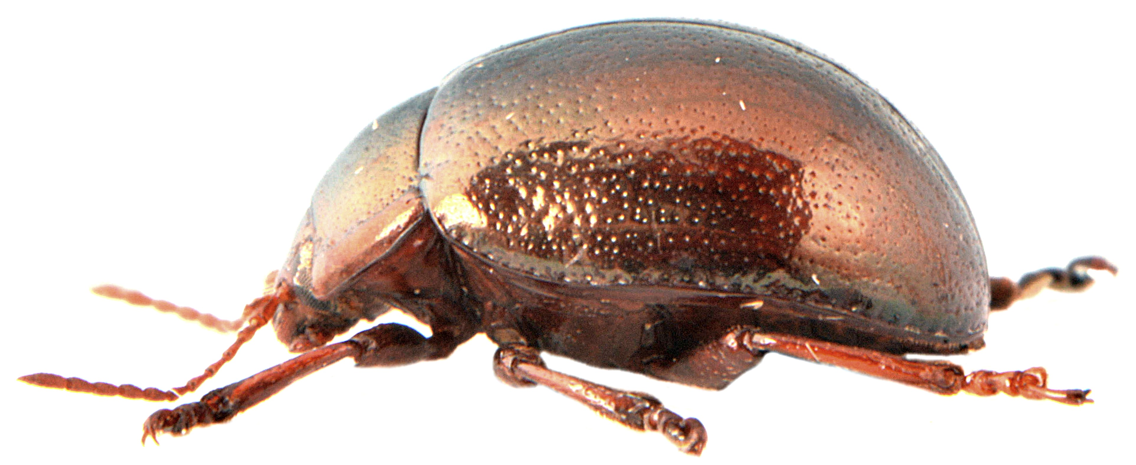Chrysolina staphylaea 4