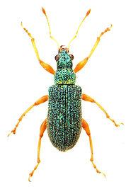 Polydrusus pterygomalis.jpg