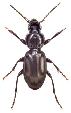 Pterostichus madidus 2
