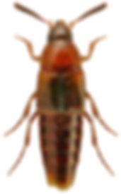 Bryophacis crassicornis.jpg